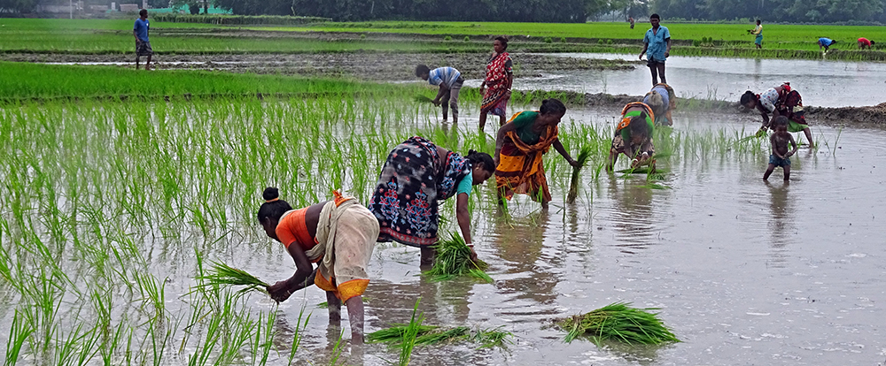 ERLI Project - Women planting rice in Bangladesh