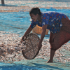 A woman tosses fish out to dry on Ngapali Beach, on the Bay of Bengal, in western Myanmar. © Jean-Marle Hullot / flickr
